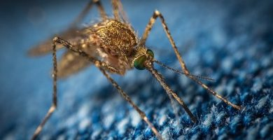 Mosquito posa sobre una base tejida de fibra azul impregnada con limon como trampa para mosquitos