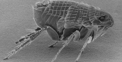 repelente pulgas