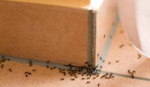 trampa para hormigas