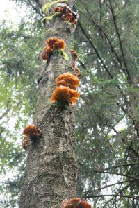 fungicida natural